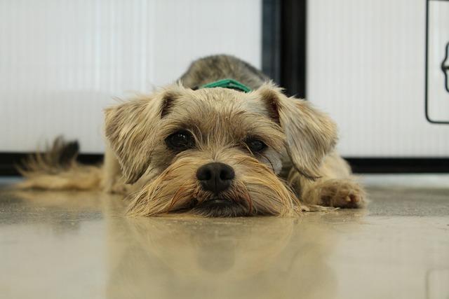 Rescue, Schnauzer, Pet, Adopt, Miniature, Dog, Fur