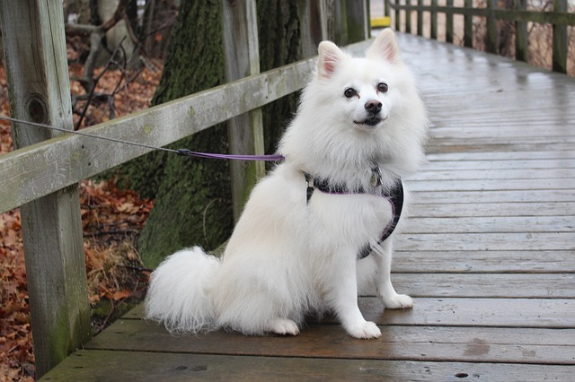 Dog, American Eskimo, Animals, Park, Wooden, Bridge