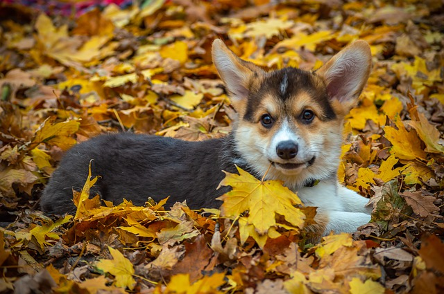 Welsh Corgi Pembroke, Corgi, Dog, Pet, Animal, Cute