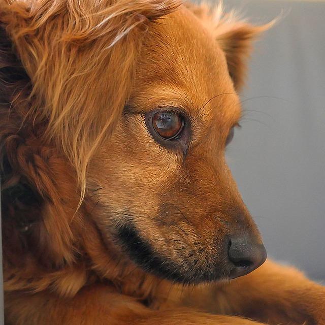 Dog, Pet, Animal, Small, Furry, Cute, Fur, Brown