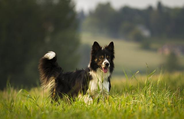 Dog, Mammal, Animal, Canine, Border Collie, Herding Dog