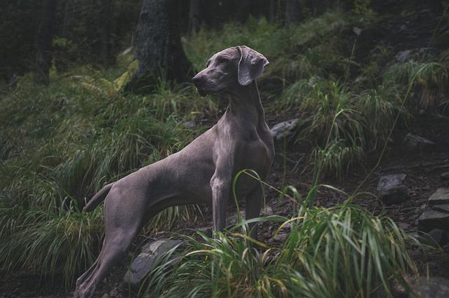 Animal, Dog, Hunting Dog, Weimaraner, Grass, Looking