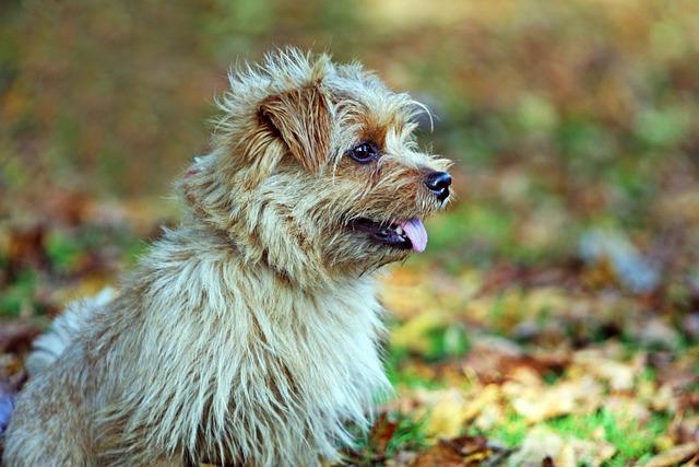 Dog, Norfolk Terrier, Terrier, Canine, Pet, Animal