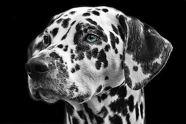 Dalmatians, Dog, Animal, Head, Animal Portrait