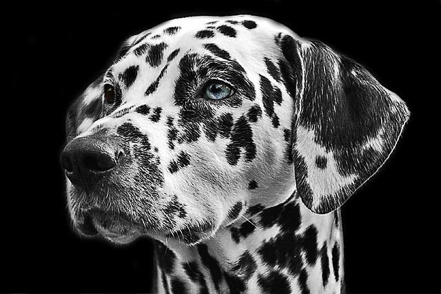Dalmatians, Dog, Animal, Head, Animal Portrait