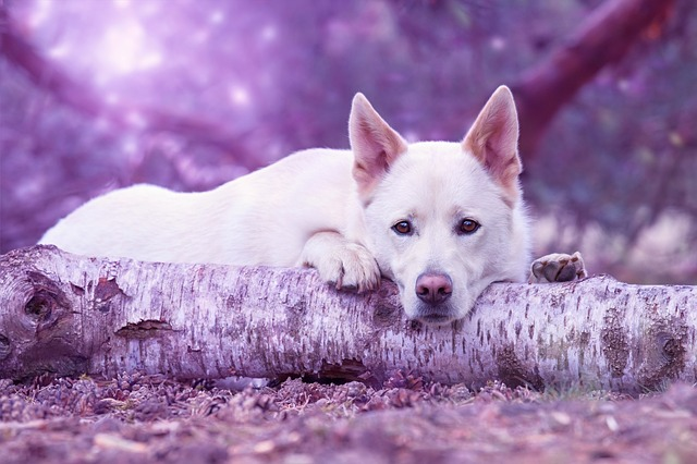 Dream, Dog, Pet, Hybrid, Animal Portrait