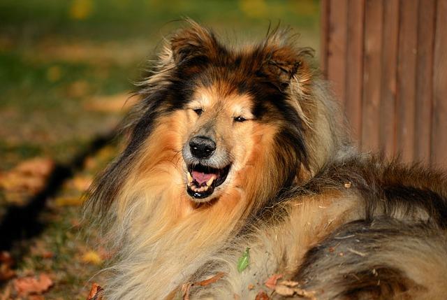 Collie, Rough Collie, Dog, Animal, Race