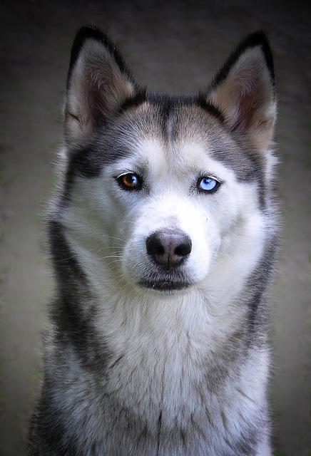 Husky, Dog, Siberian Husky, Sled Dog, Animal, Fur