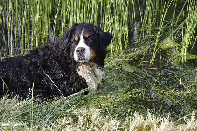 Bernese Mountain Dog, Dog, Animal, Summer, Bernese