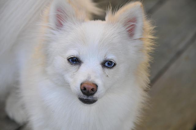 Dog, Pomeranian, White, Pet, Canine, Animal, Furry
