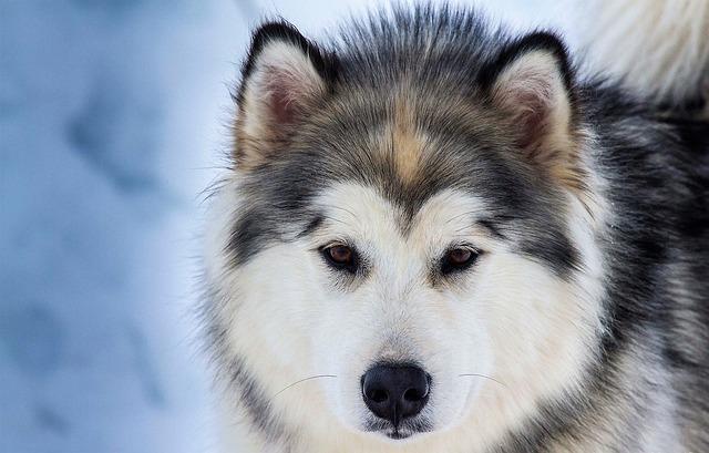 Animals, Dog, Domestic Animal, Nature, Husky, Sled Dog