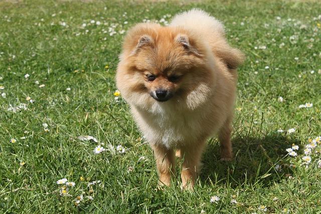Spitz Miniature, Dog, Animals