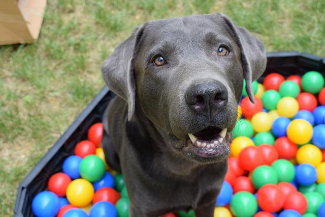 Dog, Ball, Ball Pit