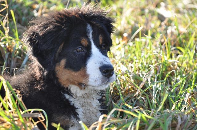 Dog, Bernese Mountain Dog, Big Dog, Animal, Family