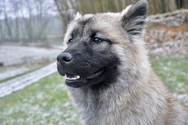 Dog, Bitch, Young Bitch Nova, Eurasier