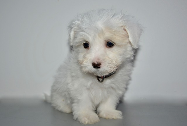 Puppy, Young Dog Coton Tulear, Bitch Olla, Cute, Dog