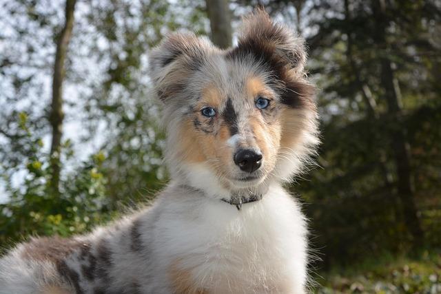 Dog Bitch Shetland Sheepdog, Bitch Nobility Blue