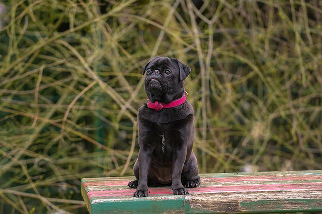 Dog, Out, Pug, Black, Black Pug, Animal, Pet