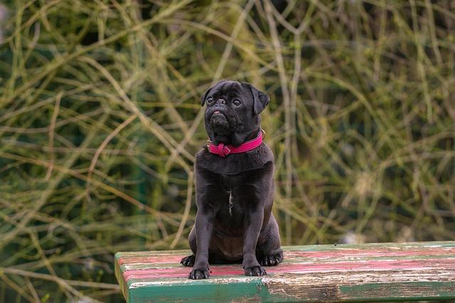 Dog, Out, Pug, Black, Black Pug, Animal, Pet