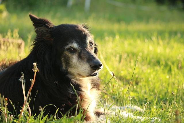 Dog, Border Collie, Border, Herding Dog