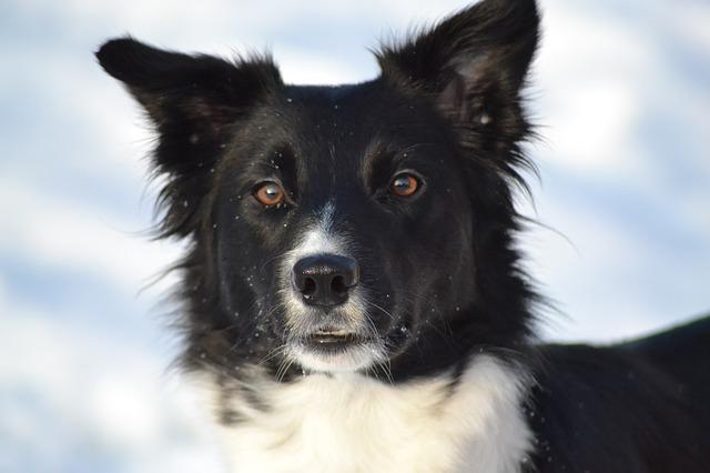 Dog, Border Collie, Winter Picture