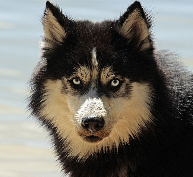 Husky, Dog, Dog Breed, Animal, Sled Dog, Snow Dog