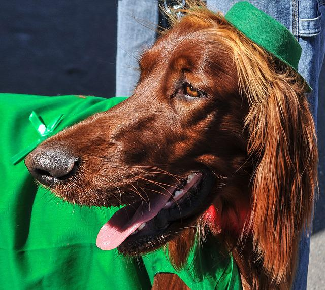 Irish Setter, Dogs, Dog Breeds, Animals, Pets