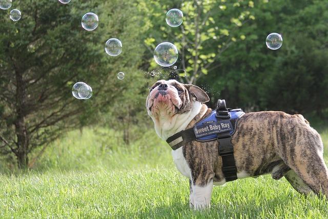 Dog, Bubbles, Bulldog