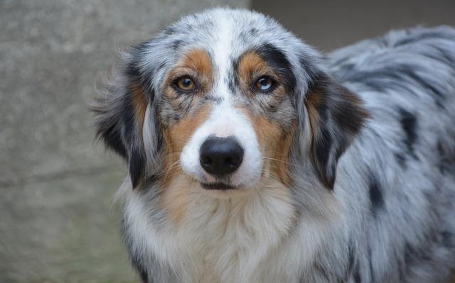 Dog, Bitch, Australian Shepherd, Animal, Canine, Mammal