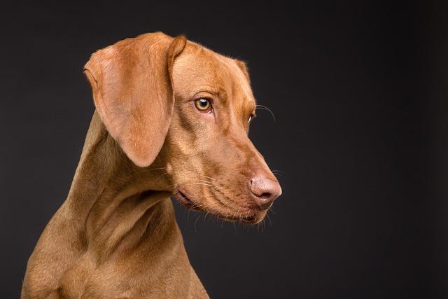 Dog, Animal, Canine, Pet, Portrait, Brown