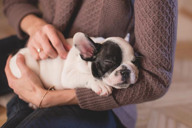 Animal, Bulldog, Canine, Cute, Dog, Hands, Pet, Puppy