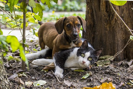 Dog, Cat, Dog - Cat Friendship, Pets, Game, Dachshund