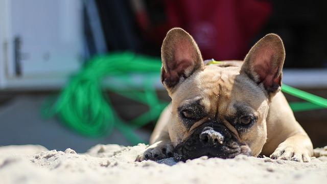 Bulldog, Beach, Coast, Domburg, French, Dog