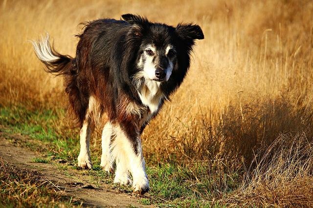 Dog, Purebred Dog, Border, Collie, Border Collie