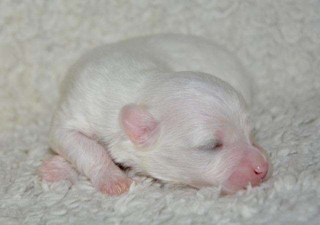 Puppy, New Born, Dog Coton Tulear, Cute, Mammal