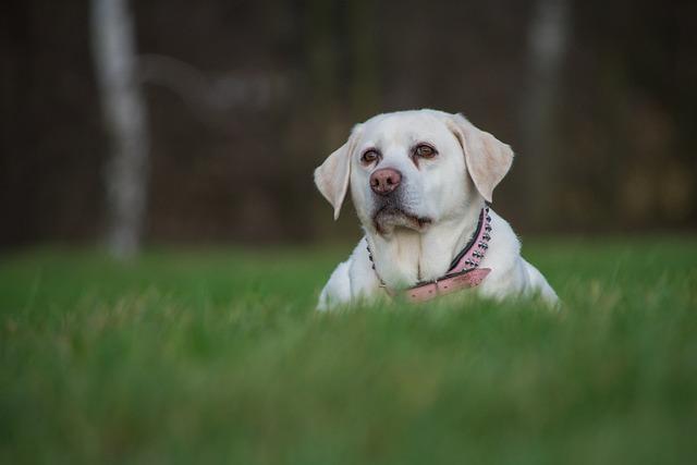 Dog, Cute, Grass, Animal, Pet, Labrador