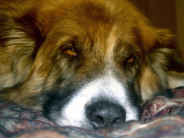 Dog, Canine, Pet, Saint Bernard, Puppy, Cute, Domestic