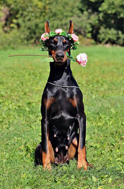 Doberman, Dog, Rose, Sitting, Sweet