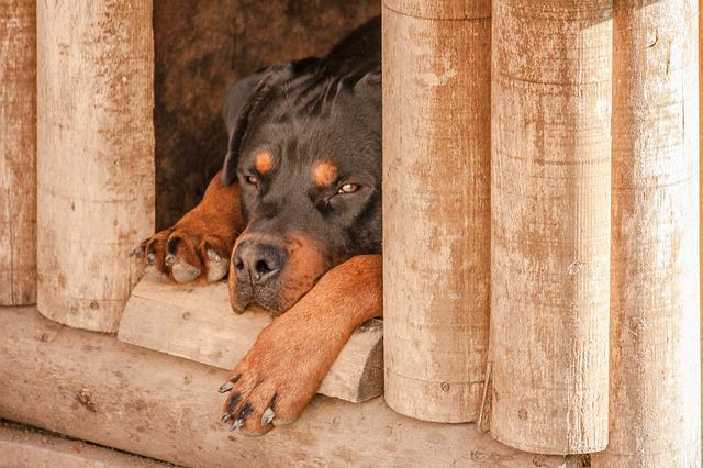 Rottweiler, Dog, Sleep, Dog House, Sad, Pet