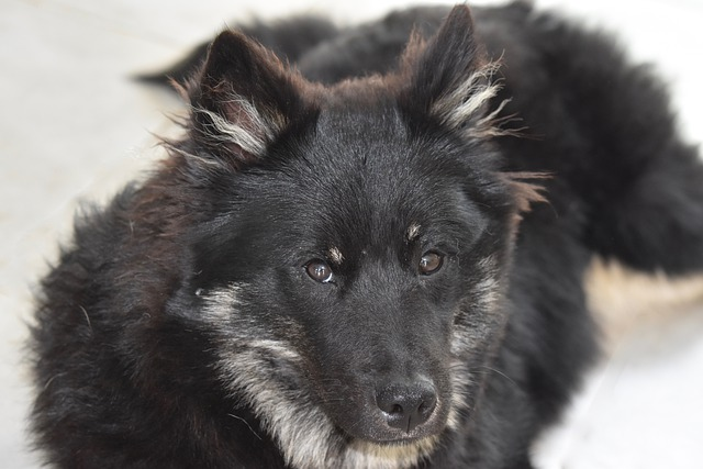 Dog, Pup, Puppy, Portrait, Dog Eurasier
