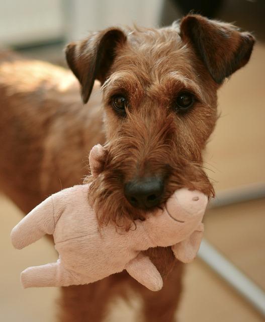 Dog, Irish Terrier, Pet, Animal Portrait, Dog Eyes