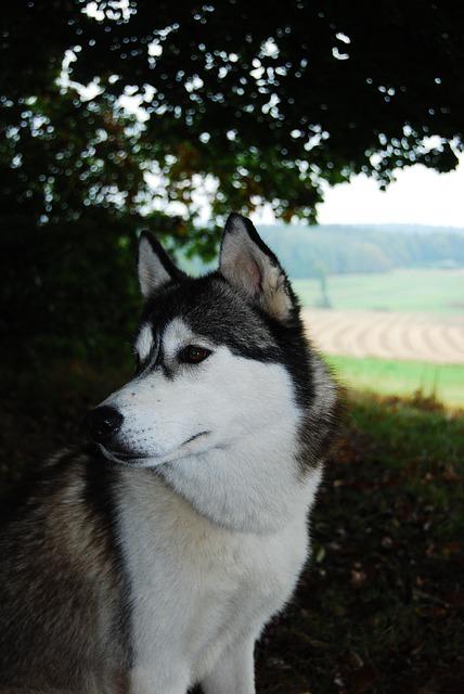 Husky, Dog, Nature, Sled Dog, Face, Young Dog, Portrait