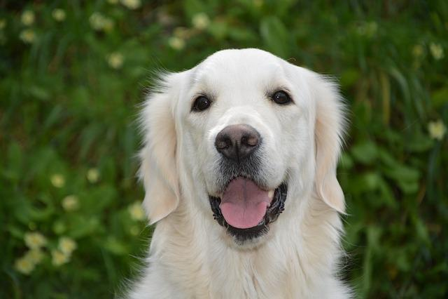 Dog, Bitch Mollie Golden Retriever, Dog For Assistance