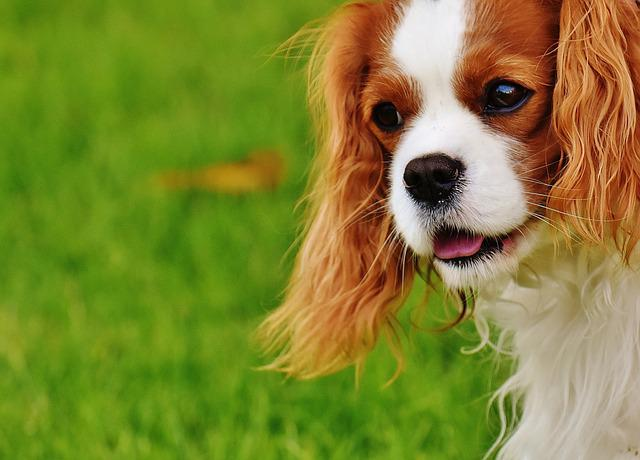 Dog, Cavalier King Charles Spaniel, Funny, Pet, Animal
