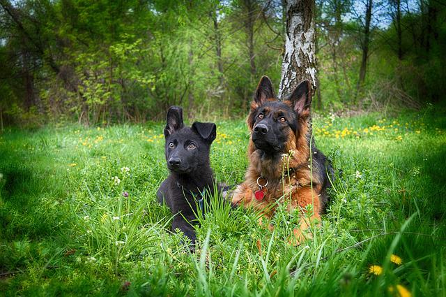 Dog, Zvierata, German Ovciak