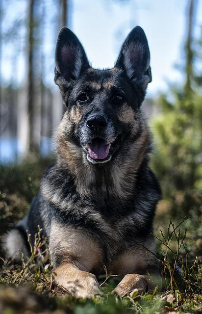 Dog, German Shepherd, Forest