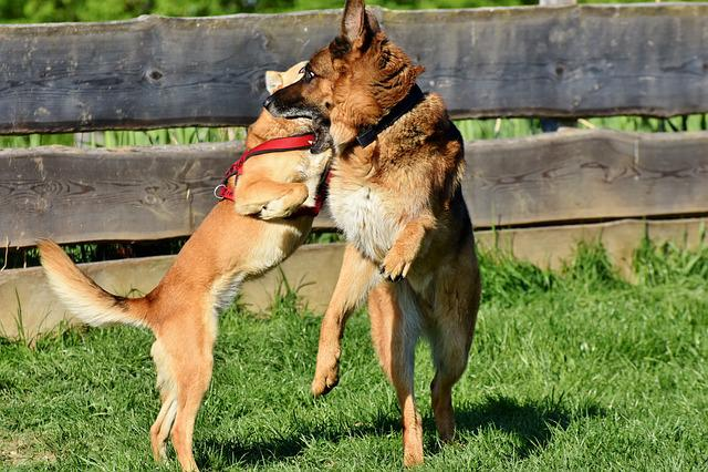 Schäfer Dog, Dog, German Shepherd