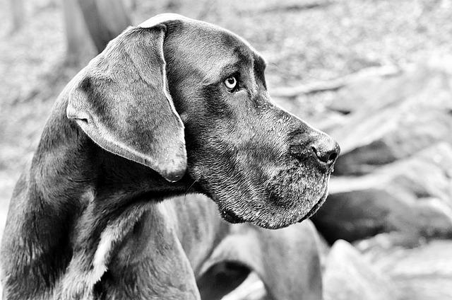 Great Dane, Dog, H, Head