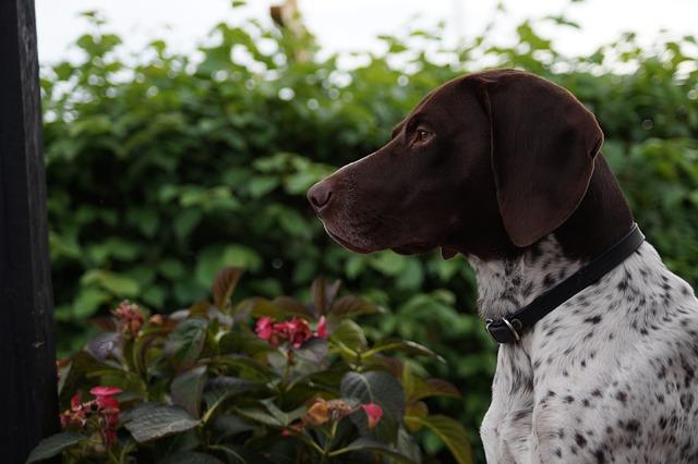 Dog, Guard, Home, Outdoor, Flower, Slt-a58y