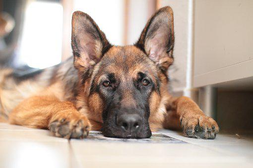 German Shepherd, Dog, Domestic Animal, Guardian